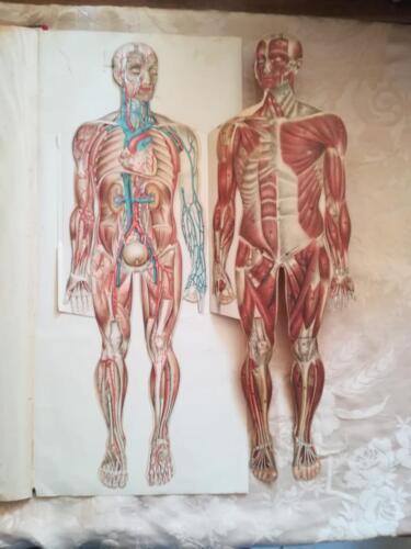 """Veduta della tavola """"pop up"""" del corpo umano suddiviso da veduta del tessuto muscolare ,delle arterie, dei reni e della vescica."""