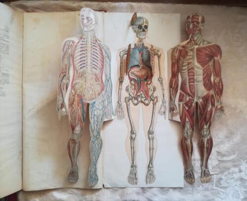 """Veduta della tavola """"pop up"""" del corpo umano suddiviso nella veduta del tessuto muscolare, dei vasi sanguigni e dello scheletro con gli organi. Lo scheletro ha delle """"finestrelle"""" presenti sul cranio e sulla cassa toracica, che permettono di vedere il cervello e parte dell'apparato respiratorio."""